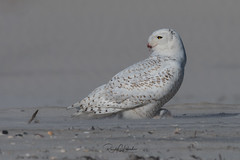 Snowy Owls of New Jersey | 2018 - 13 (RGL_Photography) Tags: beachowl birding birds birdsofprey birdwatching buboscandiacus gardenstate jerseyshore mothernature nature newjersey nikonafs600mmf4gedvr nikond500 oceancounty ornithology owls raptors snowyowl us unitedstates wildlife wildlifephotography