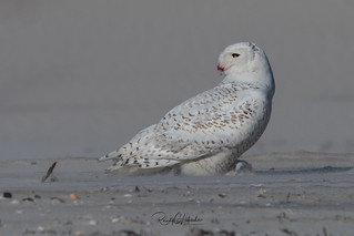 Snowy Owls of New Jersey | 2018 - 13