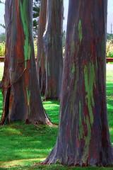 Hawaiian Rainbow Trees (Aneonrib) Tags: oahu hawaii united states green tree rainbow eucalyptus dole plantation orange red arbor grass tri three