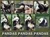 San Diego Zoo's pandas collage (Aqua and Coral Imagery) Tags: animals panda pandas green zoo sandiego california collage inspo park bamboo