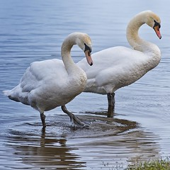 Ireland_Lough Key_08 (Mikeyob) Tags: loughkey ireland swans