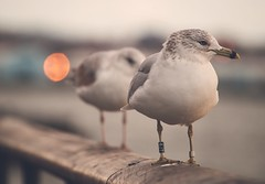 seagull 4JT (Awesome Earth) Tags: earth awesome bokeh newyork animals love seagull