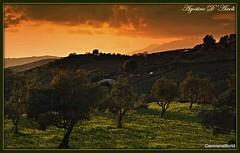 Tra le campagne di Cianciana: ulivi al tramonto -Febbraio-2018 (agostinodascoli) Tags: ulivi tramonto sunset paesaggi landscape nature texture agostinodascoli cianciana sicilia nikon nikkor erba cielo alberi