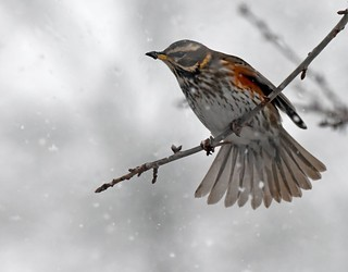 Redwing in a snowstorm