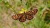 Knapweed Fritillary - Melitaea phoeb.                             Thanks to Bob Eade for correct identification (jaytee27) Tags: bulgaria naturethroughthelens
