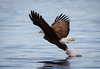 Capturing the Catch (TroyMarcyPhotography.com) Tags: 20windchill action americanbaldeagle beautiful bird canon400mmf56l canon7d cloudy illinois iowa january mississippiriverbaldeagles2018 overcast cold nature wildlife