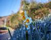 Narcissus blooming along the road (shinichiro*@OSAKA) Tags: 20180106sdqh3360 2018 crazyshin sigmasdquattroh sigma1770mmf284dcmacrohsm january winter flower macro narcissus 水仙 kyonan chiba japan jp 27935446489 2214972 201801gettyuploadesp