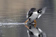 Common Goldeneye / Garrot à oeil d'or (shimmer5641) Tags: bucephalaclangula commongoldeneye commongoldeneyedrake commongoldeneyemale garrotàoeildor seaduck duck birdsofbritishcolumbia britishcolumbiacanada birdsofnorthamerica