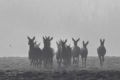 Biches et faons... (fabrice.jandin) Tags: mammifères cervidés biche faon forêt brume ambiances hiver harde