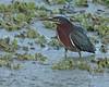 Green Heron (Butorides virescens) (Mary Keim) Tags: taxonomy:binomial=butoridesvirescens centralflorida marykeim orlandowetlandspark