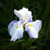 Iris (buch.daniele) Tags: plantesfleursflowers fougères iris surfinia vertgreenviolet rougered blanc luminosité parcdelavillataranto danièlebuch italia italienord europe