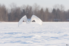 ''L'ange !'' Harfang des neiges-Snowy owl (pascaleforest) Tags: owl hibou snowy oiseau bird anaimal passion nikon québec canada wildlife wild faune neife snow hiver winter forêt forest lumière light
