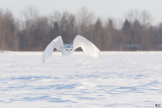 ''L'ange !'' Harfang des neiges-Snowy owl