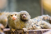 2018-01-19-14h57m57.BL7R8822 (A.J. Haverkamp) Tags: canonef100400mmf4556lisiiusmlens amsterdam noordholland netherlands zoo dierentuin httpwwwartisnl artis thenetherlands dwergoeistitie pygmymarmoset nl