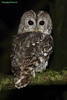 Tawny Owl, Strix aluco (Midlands Reptiles & British Wildlife Diaries) Tags: tawnyowl strixaluco british cromford derbyshire hunting pale phase david nixon fauna forest ecology ornithology talons perch perched nocturnal canon 100400 100400mm portrait