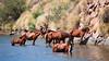 Wild Horses at Saguaro Lake, Arizona I (eoscatchlight) Tags: wildhorses horses equine saguarolake arizona horsephotography