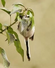Hang in there. Long Tailed Tit. (Alan McCluskie) Tags: tit birds ukbirds oiseau aves ivy nature wildlife springwatch canon7dmk2 sigma150600mmsp aegithaloscaudatus longtailedtit
