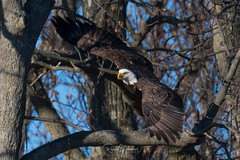 Bald Eagles of the Jersey Shore | 2018 - 8 (RGL_Photography) Tags: americanbaldeagle baldeagle birding birds birdsofprey birdwatching eagle freedom gardenstate godblessamerica haliaeetusleucocephalus jerseyshore monmouthcounty newjersey nikonafs600mmf4gedvr nikond500 raptors symbolofamerica us unitedstates wildlife wildlifephotography bif birdsinflight