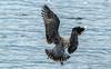 Young Lesser black-backed gull / Sílamáfur, ungfugl (Larus fuscus) (thorrisig) Tags: 06082017 dýr fuglar lesserblackbackedgull sílamáfur larusfuscus máfar mávar sílamávur animals sigurgeirsson sigurgeirssonþorfinnur dorres thorrisig thorfinnursigurgeirsson thorri þorrisig thorfinnur þorfinnur þorri þorfinnursigurgeirsson birds bird iceland ísland island icelandicbirds íslenskirfuglar seagulls gulls