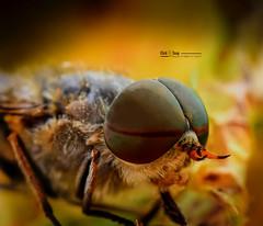 Close (nicoheinrich86) Tags: nikon insect details dof eyes fly macrophoto macro diptera tabanidae horsefly male