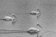 _40A1358 B&W (ChefeGrande) Tags: texas cypress blackwhite monochrome whitepelican outdoor freshwater pond animal ave marsh formation bw water