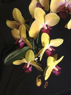 Phalaenopsis IMG_4444
