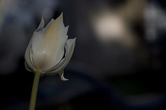 Tulip (metinŞimşek) Tags: flower tulip street beauty love nature light naturallight canonlenses canon