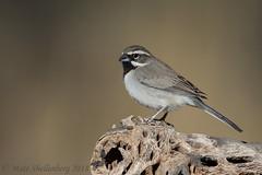 Black-throated Sparrow (Matt Shellenberg) Tags: blackthroated sparrow blackthroatedsparrow arizona desert southwest matt shellenberg