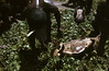 HG3-1-005b (Stichting Papua Erfgoed) Tags: henkgeut papua irianjaya nieuwguinea stichtingpapuaerfgoed irianbarat baliem varkensfeest