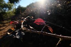 WINTER IN RED (VICENTEPAYA8) Tags: fujifilmxt2 astia fujinon1024 leaves lacalderona