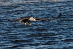 Bald Eagle. (Estrada77) Tags: baldeagle nikond500200500mm mississippiriver ld14 water wildlife outdoors winter jan2018 distinguishedraptors birdsofprey birding illinois