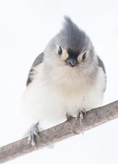 Tufted Titmouse (digiphotonut) Tags: kentucky tuftedtitmouse songbird edgewood winter