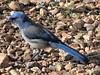 Western Scrub-Jay (thomasgorman1) Tags: jay jaybird scrubjay seeds ground nature canon bluejay rocks outdoors blue wildlife birds