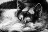 Arctic sled dog (Kristaaaaa) Tags: animals arctic dog dogs fur huskey portrait sleddog snow tuktoyaktuk winter canada black white northwestterritories north closeup close 100400mm zoom fuji fujifilm fujixt2 fujilove fujinon xf