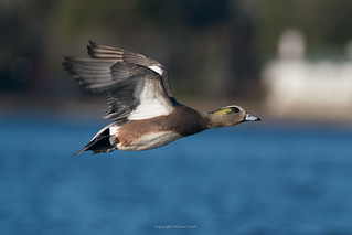 Wigeon flyby