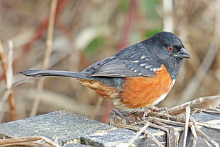 Spotted Towhee Male 18-0210-2737