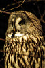 Owl (Tony Shertila) Tags: chester england uptonbychester animals beack bird britain cheshire chesterzoo europe feather owl unitedkingdom gbr