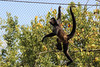 Mexican Spider Monkey (Tayzerz) Tags: mexican spider monkey mexicanspidermonkey animal animals mammals mammal zoo nashvillezoo nashville tennessee