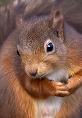 Please sir any more nuts. (andywilson1963) Tags: redsquirrel squirrel british scotland wildlife mamal animal woodland