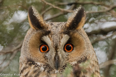 Eye contact. (Gergely_Kiss) Tags: europeanbirds birdeyecontact longearedowl erdeifülesbagoly owl birdofprey sundaylights