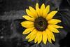 Sunflower (bharathputtur122) Tags: flower sunflower selective macro sharp depth focus black dark singular alone yellow colour contrast difference fair vibrant vibrance nikon d750 nikkor 105 105mm