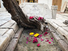 The Brief Winter Breathed Its Last This Evening and Became the Yellow Flowers of Basant... at the Sufi Shrine of Delhi's Hazrat Nizamuddin Auliya (Mayank Austen Soofi) Tags: the brief winter breathed its last this tree grave evening became yellow flowers basant sufi shrine delhi's hazrat nizamuddin auliya