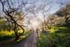 Plum blossoms (Cheng Yang, Chen) Tags: plum blossoms 南投 信義 柳家梅園 taiwan 梅花