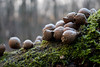 _MG_2796_C (grzegorz_63) Tags: winter hoarfrost moss mushroom makro macro nature outside canon70d