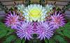 Dalhia mirrored. (Wayne~Chadwick) Tags: mirror image topaz software