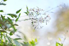 Fighting Winter (YetAnotherLisa) Tags: canon 50mmvine flower 14 bokeh dof bloom nature