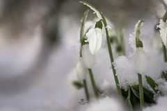 The first snow drops (Melanie Martinu) Tags: macro germany bavaria canon flower flora white green garden nature cold winter snow snowdrops