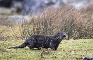 Otter_MG_9382