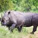Breitmaulnashörner / White Rhinoceroses