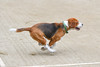 Cooper the Beagle (Nikcanlove1) Tags: beagle pasig philippines hound run tennis court ball